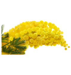 yellow mimosa branch flowers bouquet spring vector image
