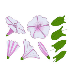 Isolation elements of white and pink bindweed vector