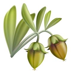 Jojoba fruit vector