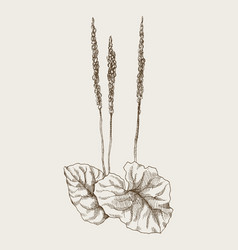 Greater plantain or plantago major vintage vector