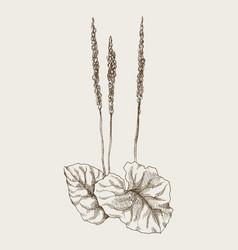 greater plantain or plantago major vintage vector image