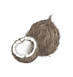 hand drawn coconut with half vector image