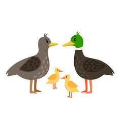 Duck family mother drake and little vector