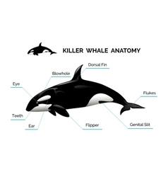 Killer Whale Anatomy vector image vector image