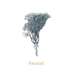 fennel sketch drawn spice herb in vector image