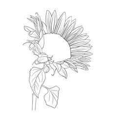 Sunflower plant vector