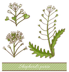 Colored shepherds purse in hand drawn style vector