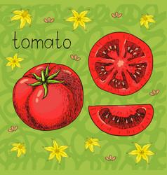 hand drawn sketch of fresh juicy tomato vector image