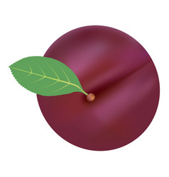 Single fresh ripe plum isolated on a white vector