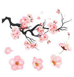 blossom cherry flowers on branch japanese vector image