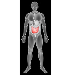Anatomy of the small intestine vector