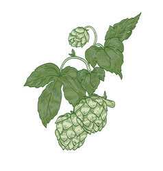 Detailed natural realistic drawing of hop sprig vector