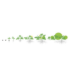 Growth stages watermelon plant vector