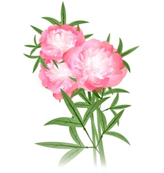 peony flowers bouquet vector image