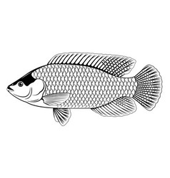 Red tilapia fish black and white vector