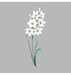 Watercolor small daffodil flower vector