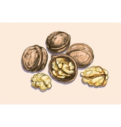 drawing of a walnuts vector image