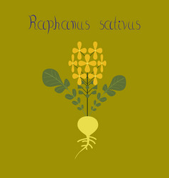 Flat on background plant raphanus vector