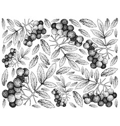 Hand drawn background of american elder fruits vector