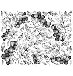 Hand drawn background of american elder fruits vector