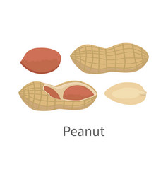 Peanut in flat style design vector