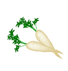 Delicious Fresh Daikon Radish on White Background vector