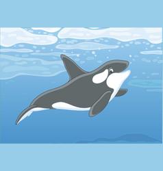killer whale swimming in a polar sea vector image