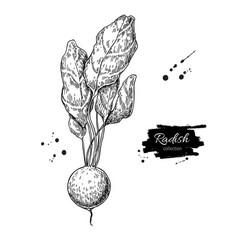 radish hand drawn isolated vector image