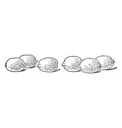 Three lemons vintage vector