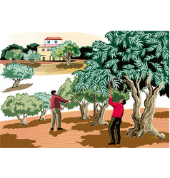 two men collect olives directly from tree vector image