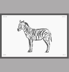 High detail hand drawn zebra sketch vector