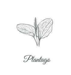 plantago sketch hand drawing plantain vector image vector image