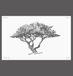 High detail safari tree acacia sketch vector