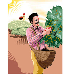 man collecting olives directly on the shaft vector image