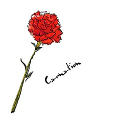 Carnation vector image