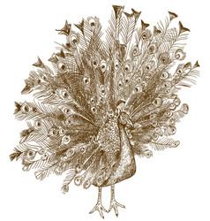 Engraving antique peafowl vector