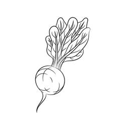 Hand drawn radish sketches on white background vector
