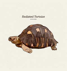 Radiated tortoise is a species in family vector