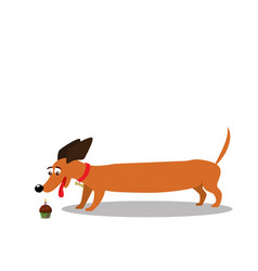 Dachshund watching on cupcake isolated on white vector