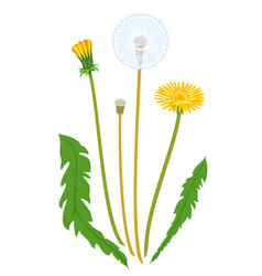 taraxacum flower isolated vector image