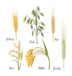 Barley wheat rye rice millet and green oat vector