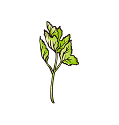 Green celery leaves drawing - hand drawn cooking vector