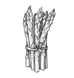 Hand drawn of asparagus vector