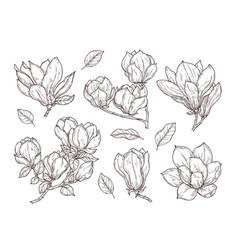 Magnolia flowers sketch drawing botanical spring vector