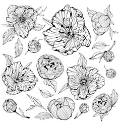 set isolated peony flowers vector image