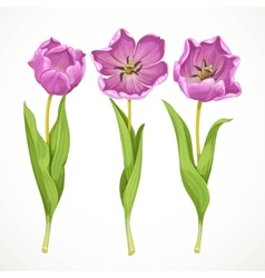 purple tulips isolated on a white vector image