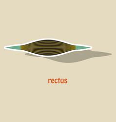 Sticker rectus - didactic board of anatomy of vector