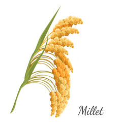 yellow millet isolated on white realistic vector image vector image