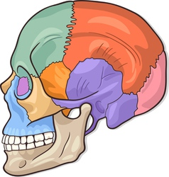 Human Skull Diagram vector image
