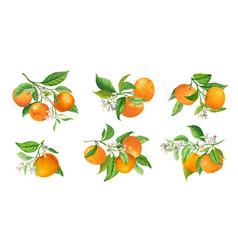 mandarin branches botanical vector image